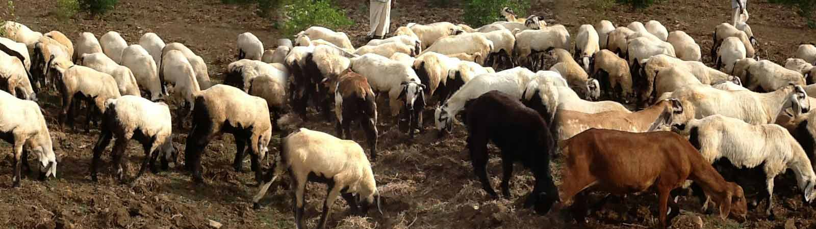Sheep and goat farming